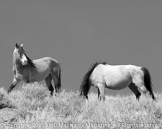 B&W of Stallion guarding the band
