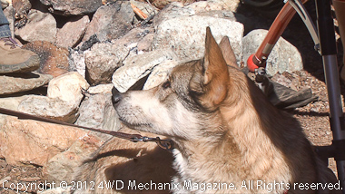 Domestic dog-wolf is a constant companion and camp supporter!