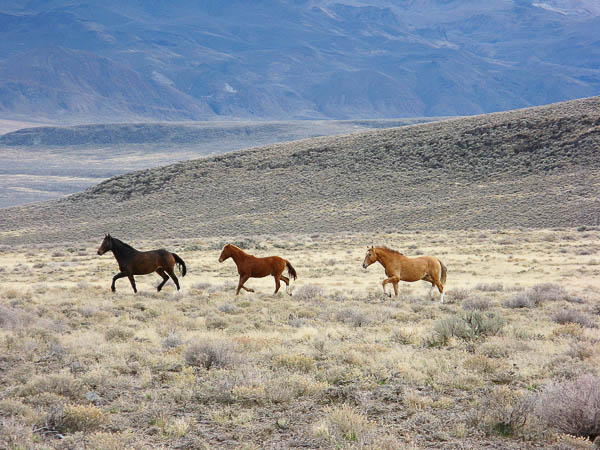 Wild horses at High Rock Canyon, Nevada