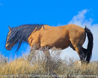 Stallion with long mane